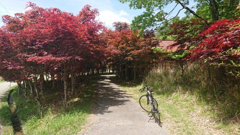 【サイクリング】5月の猪名川渓谷 紅葉するもみじ